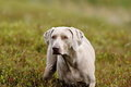 Weimaraner Royalty Free Stock Photos