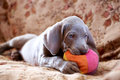 Weimaraner blue puppy indoor portrait Royalty Free Stock Images
