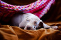 Weimaraner blue puppy indoor portrait Royalty Free Stock Photography