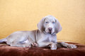 Weimaraner blue puppy indoor portrait Stock Photos