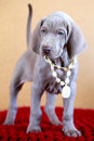 Weimaraner blue puppy indoor portrait Royalty Free Stock Photos