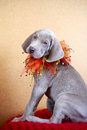 Weimaraner blue puppy indoor portrait Stock Photo