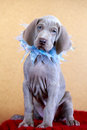 Weimaraner blue puppy indoor portrait Royalty Free Stock Image