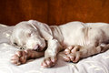 Weimaraner blue puppy indoor portrait Royalty Free Stock Photo