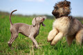 Weimaraner and briard puppy plays Royalty Free Stock Photo