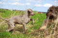 Weimaraner and briard puppy plays Royalty Free Stock Photos