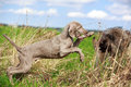 Weimaraner and briard puppy plays Stock Images