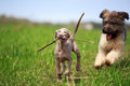 Weimaraner and briard puppy plays Royalty Free Stock Image