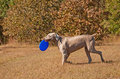 Weimaraner dog carrying a frisbee Stock Photos