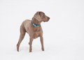 Weimaraner dog in deep snow looking to the right of the viewer Stock Photos