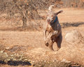 Weimaraner dog leaping over a big log Stock Images