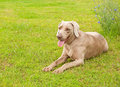 Weimaraner dog resting on green spring grass Royalty Free Stock Images