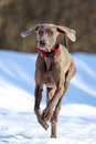 Weimaraner dog runs in winter Stock Photo