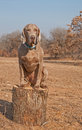 Weimaraner dog sitting on top of a log Royalty Free Stock Photo