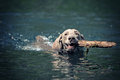 Weimaraner dog swim Stock Photo