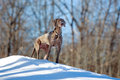 Weimaraner dog in winter forest Stock Images