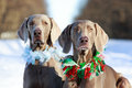 Weimaraner dog in winter forest Royalty Free Stock Image