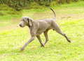Weimaraner dog a young beautiful silver blue gray running on the lawn with no docked tail the grey ghost is a hunting gun Stock Photos