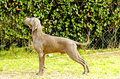 Weimaraner dog a young beautiful silver blue gray standing on the lawn with no docked tail the grey ghost is a hunting gun Royalty Free Stock Photography