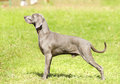 Weimaraner dog a young beautiful silver blue gray standing on the lawn with no docked tail the grey ghost is a hunting gun Royalty Free Stock Photos