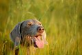 Weimaraner pointer (head) Royalty Free Stock Photo