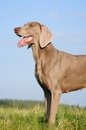 Weimaraner pointer (head, trunk) Royalty Free Stock Photo