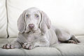 Weimaraner puppy dog portrait a of a Royalty Free Stock Image