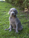 Weimaraner puppy in the garden Stock Photos