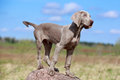 Weimaraner puppy portrait in field Royalty Free Stock Photo