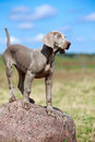 Weimaraner puppy portrait in field Stock Photo