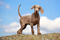 Weimaraner puppy portrait in field Royalty Free Stock Photos