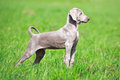Weimaraner puppy portrait in field Stock Image