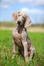 Weimaraner puppy portrait in field Stock Photography