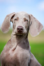 Weimaraner puppy portrait in field Royalty Free Stock Photography