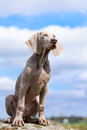 Weimaraner puppy portrait in field at rock Royalty Free Stock Photo