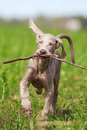 Weimaraner puppy run in field Royalty Free Stock Photo