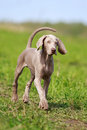 Weimaraner puppy run in field Stock Photos