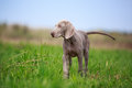 Weimaraner puppy run in field Royalty Free Stock Image