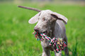 Weimaraner puppy with toy in field Stock Photos