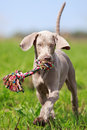 Weimaraner puppy with toy in field Stock Photo