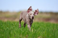 Weimaraner puppy wemaraner dog in field Stock Images