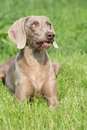 Weimaraner vorsterhund bitch lying in the grass Royalty Free Stock Photos