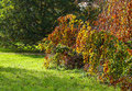 Weinende buchen baum autumn colorful foliage background Lizenzfreies Stockbild