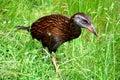 Weka a flightless bird richmond forest new zealand Royalty Free Stock Images