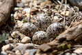 Well camouflaged Killdeer eggs Stock Images