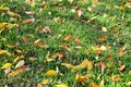 Green grass with confetti of autumn leaves. Royalty Free Stock Photo