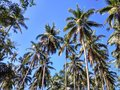 Well Organised Coconut Trees Royalty Free Stock Photo