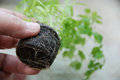 Well rooted plant chervil in a peat tablet ready for transplanting Stock Images