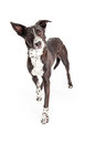 Well Trained Australian Shepherd Mixed Breed Dog Standing Royalty Free Stock Photo