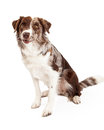 Well Trained Border Collie Dog Sitting Royalty Free Stock Photo